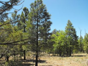 Clear Creek Pines - Happy Jack AZ