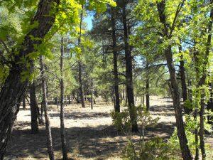 tamarron-pines